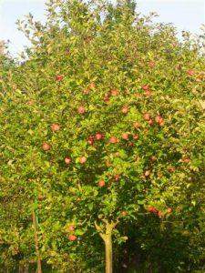 Apfel nr.214