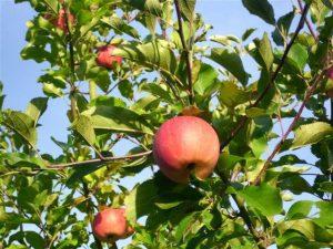 Apfel nr.325